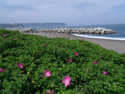 十府ヶ浦 短い夏に咲く可憐な花 ハマナス
