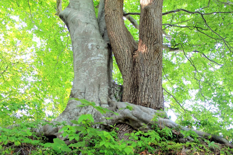 縁結びの樹(岩手県野田村)