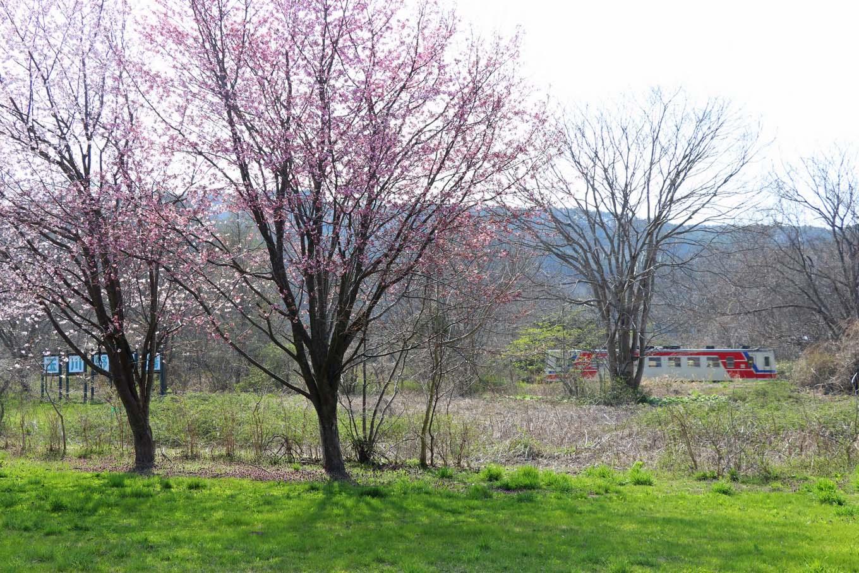 三鉄と桜(岩手県野田村)