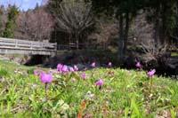 春の妖精(野田村)