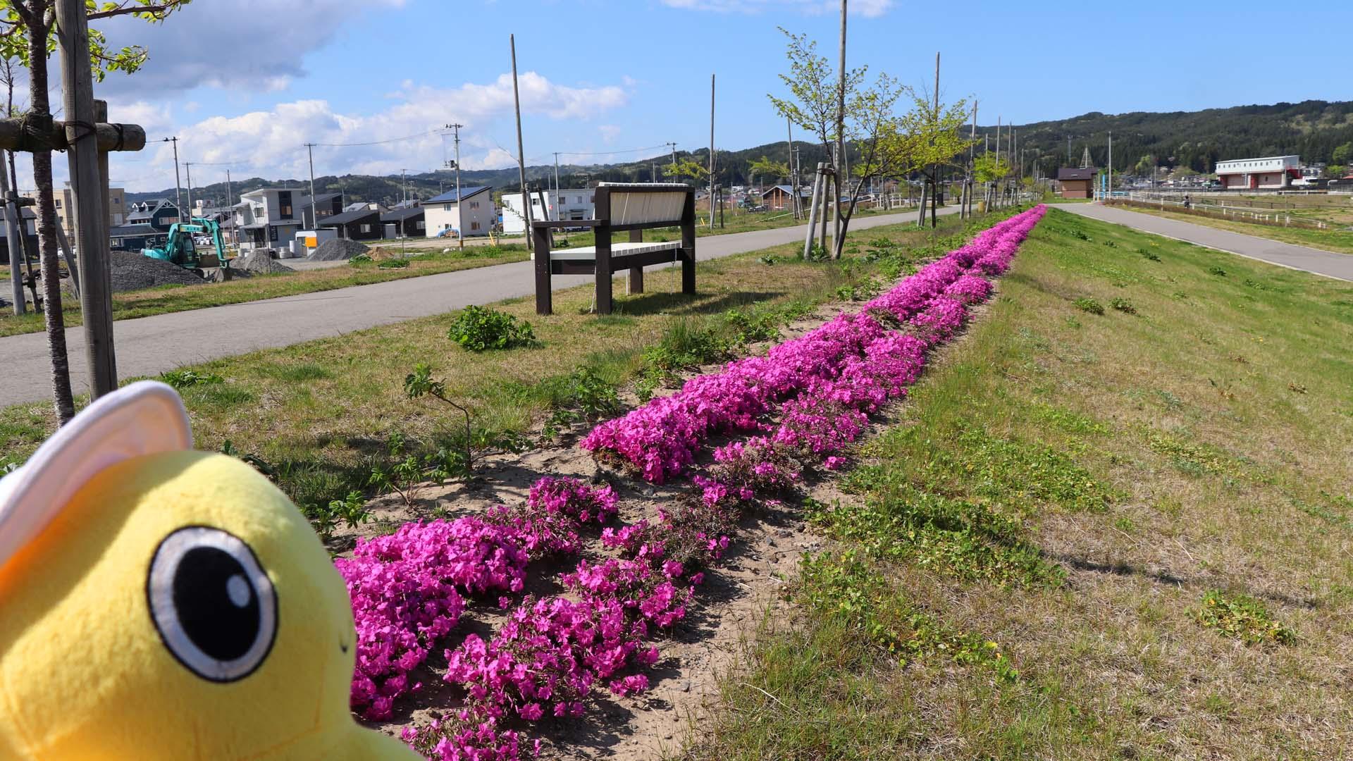 シバザクラいっぱいプロジェクト(岩手県野田村)
