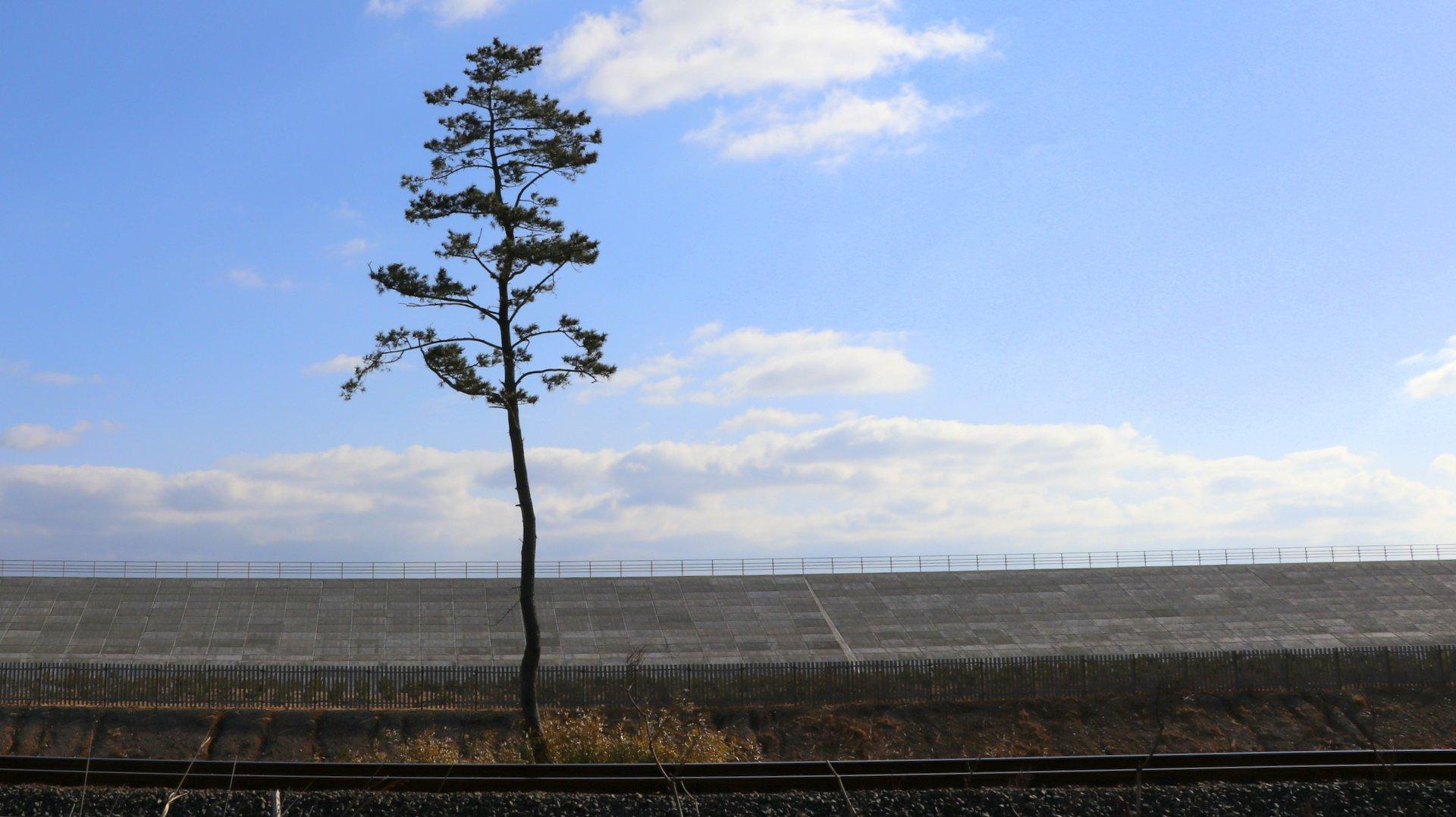 黒松の木(岩手県野田村)