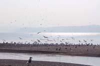 野田港の鴎