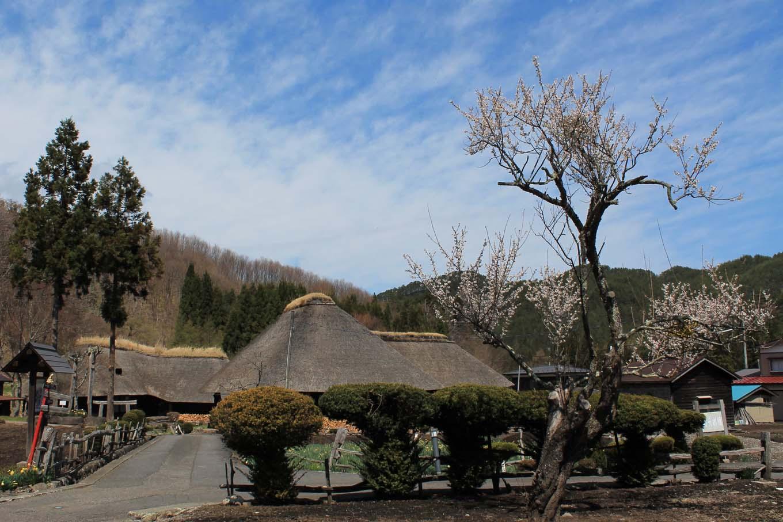 南部曲り家と梅の木(岩手県野田村)